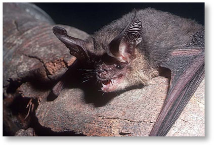 Myths About Bats